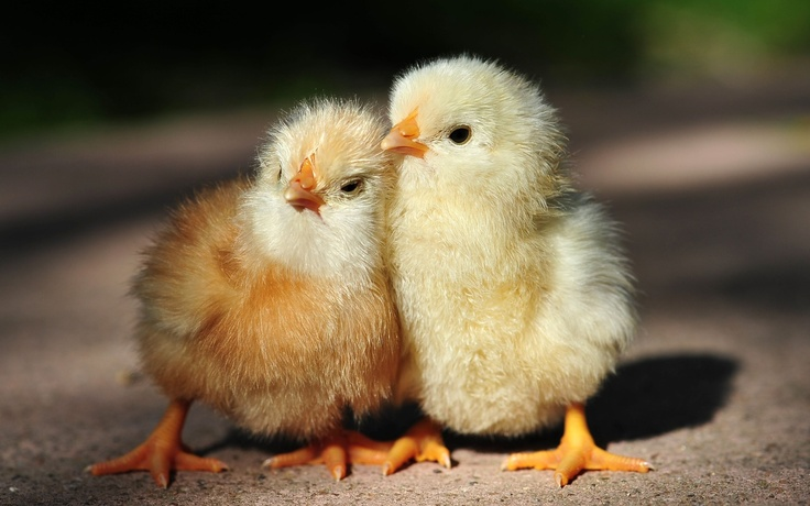 fluffy chicks